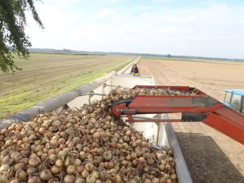 Macchinario per la raccolta di cipolle (foto da flickr @pfatter)